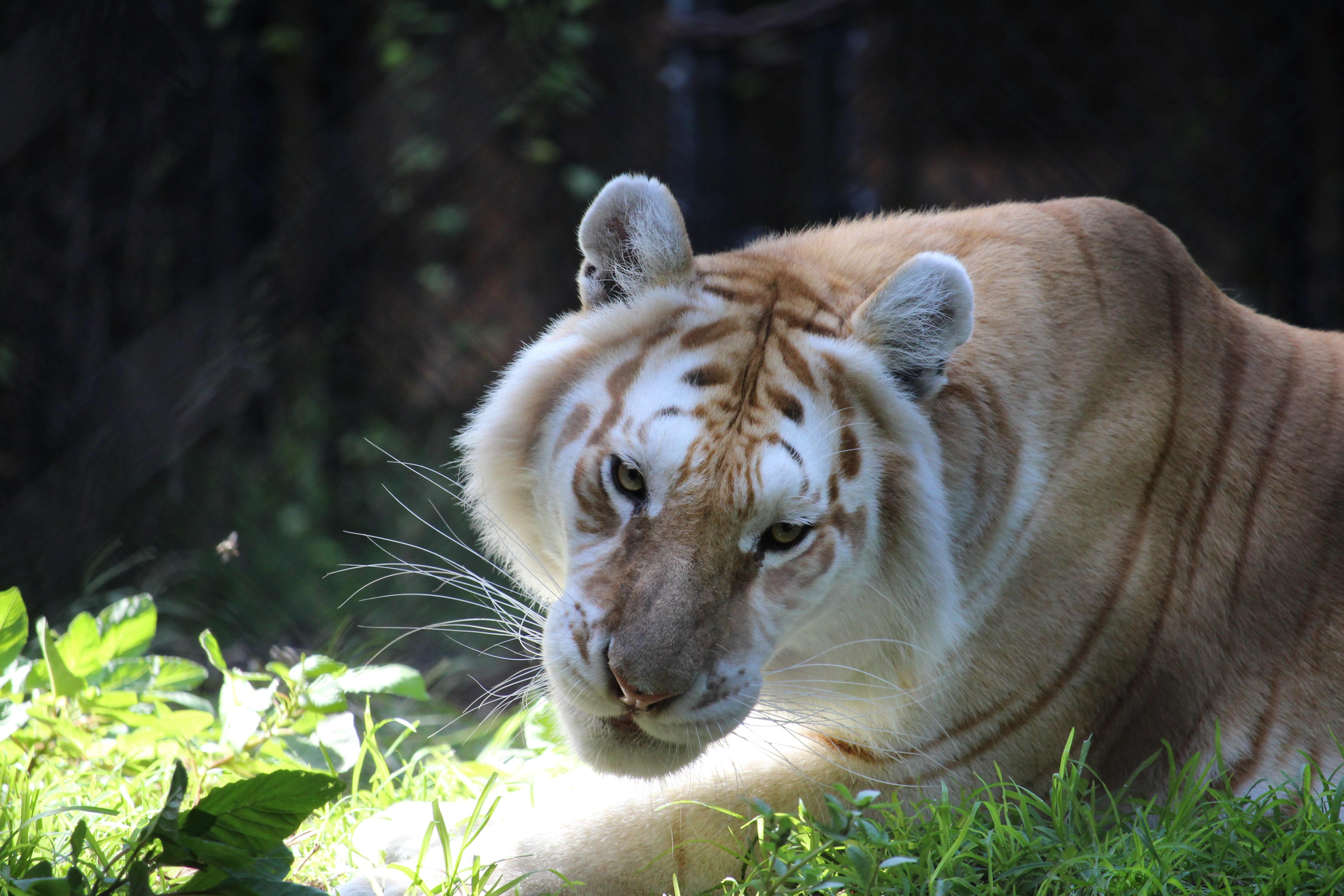 Gambar Margasatwa Kebun Binatang Binatang Menyusui Fauna Singa