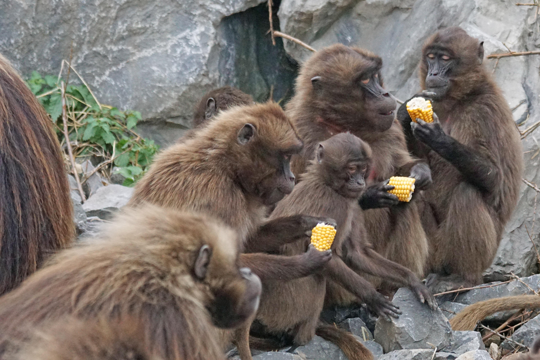 Free Images : wildlife, zoo, food, mammal, fauna, primate, baboon