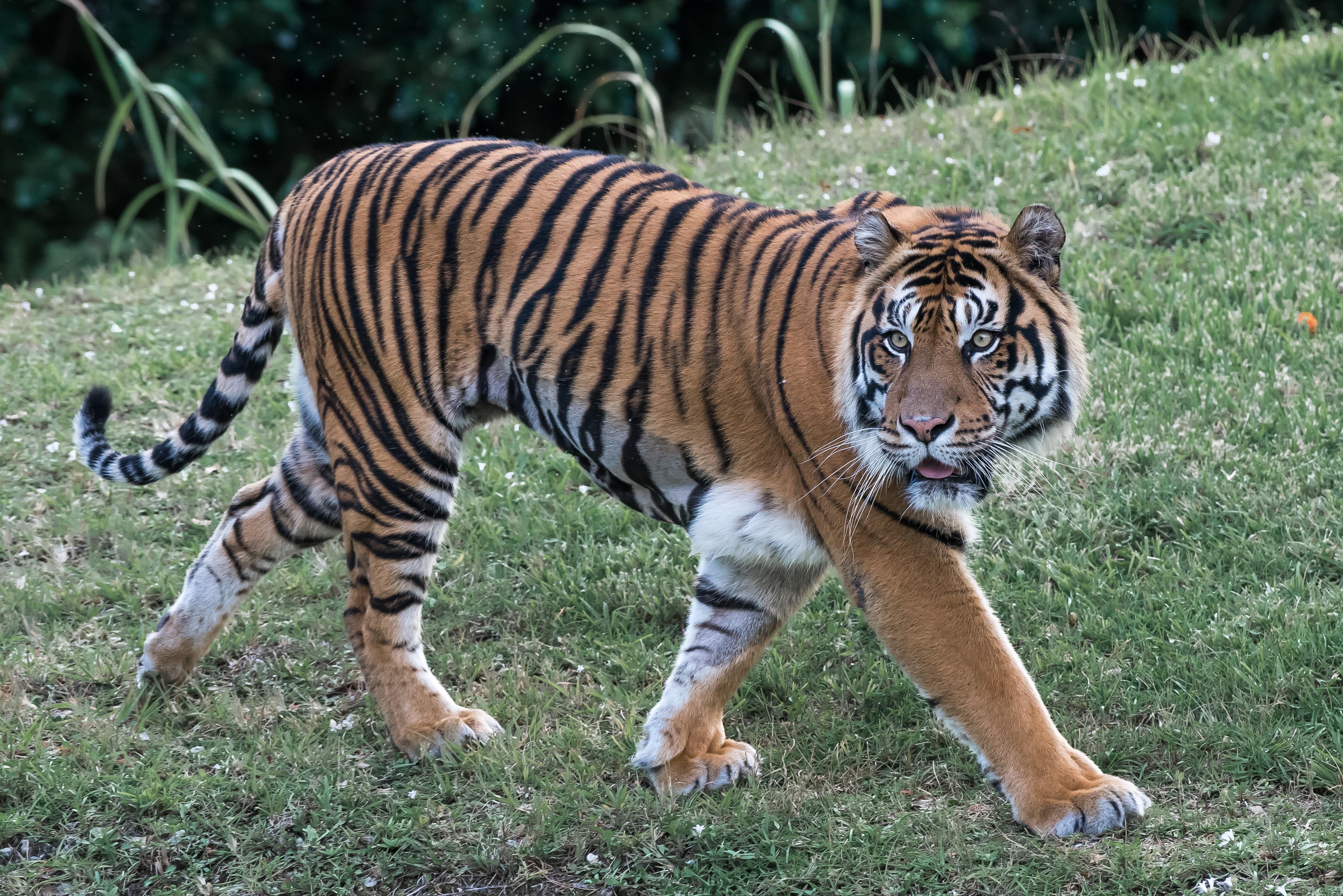 Images gratuites faune zoo fourrure chat f lin asie - Images tigres gratuites ...