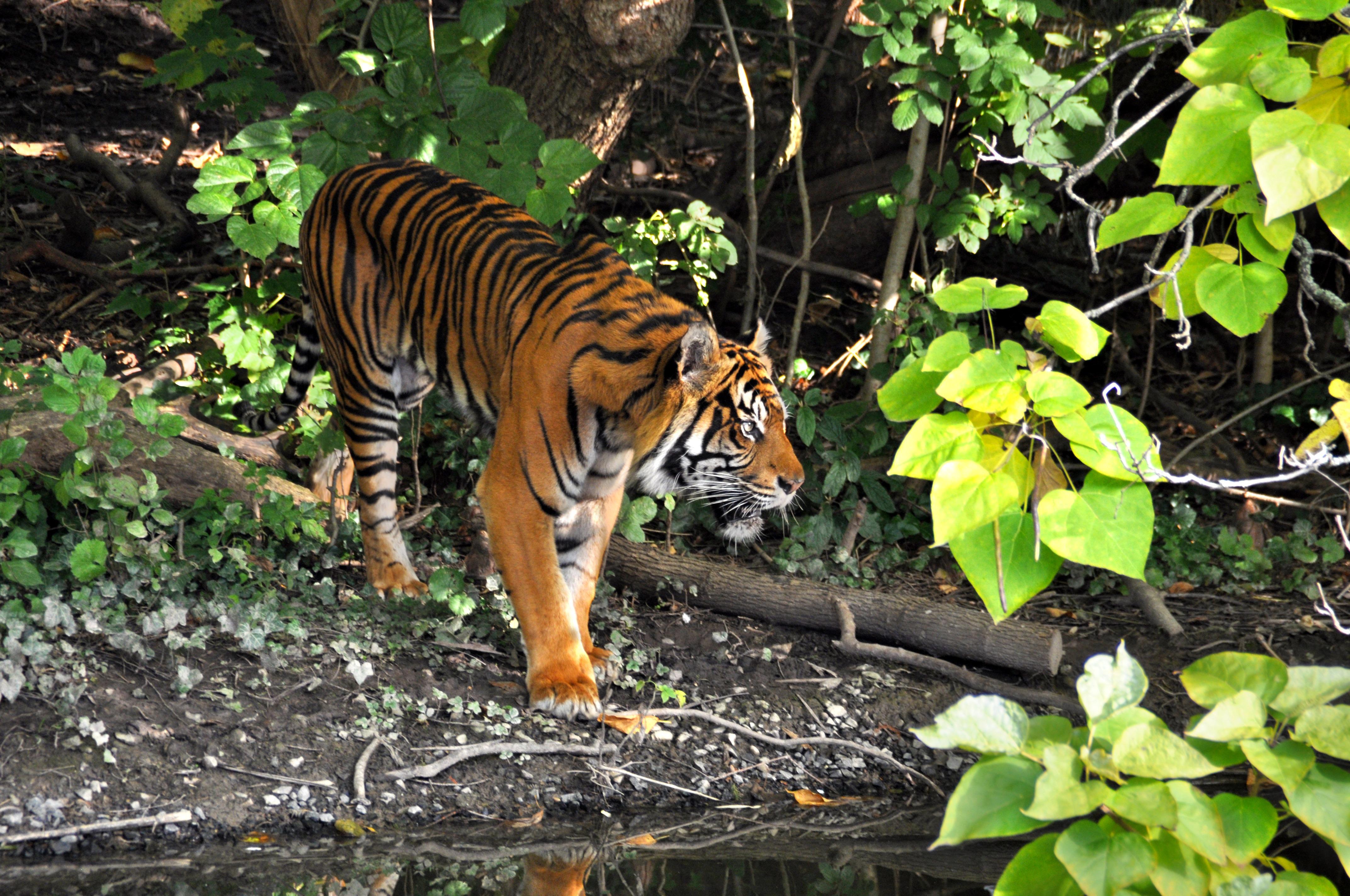 fotos gratis fauna silvestre zoo selva gato depredador tigre animales rayas peligroso. Black Bedroom Furniture Sets. Home Design Ideas