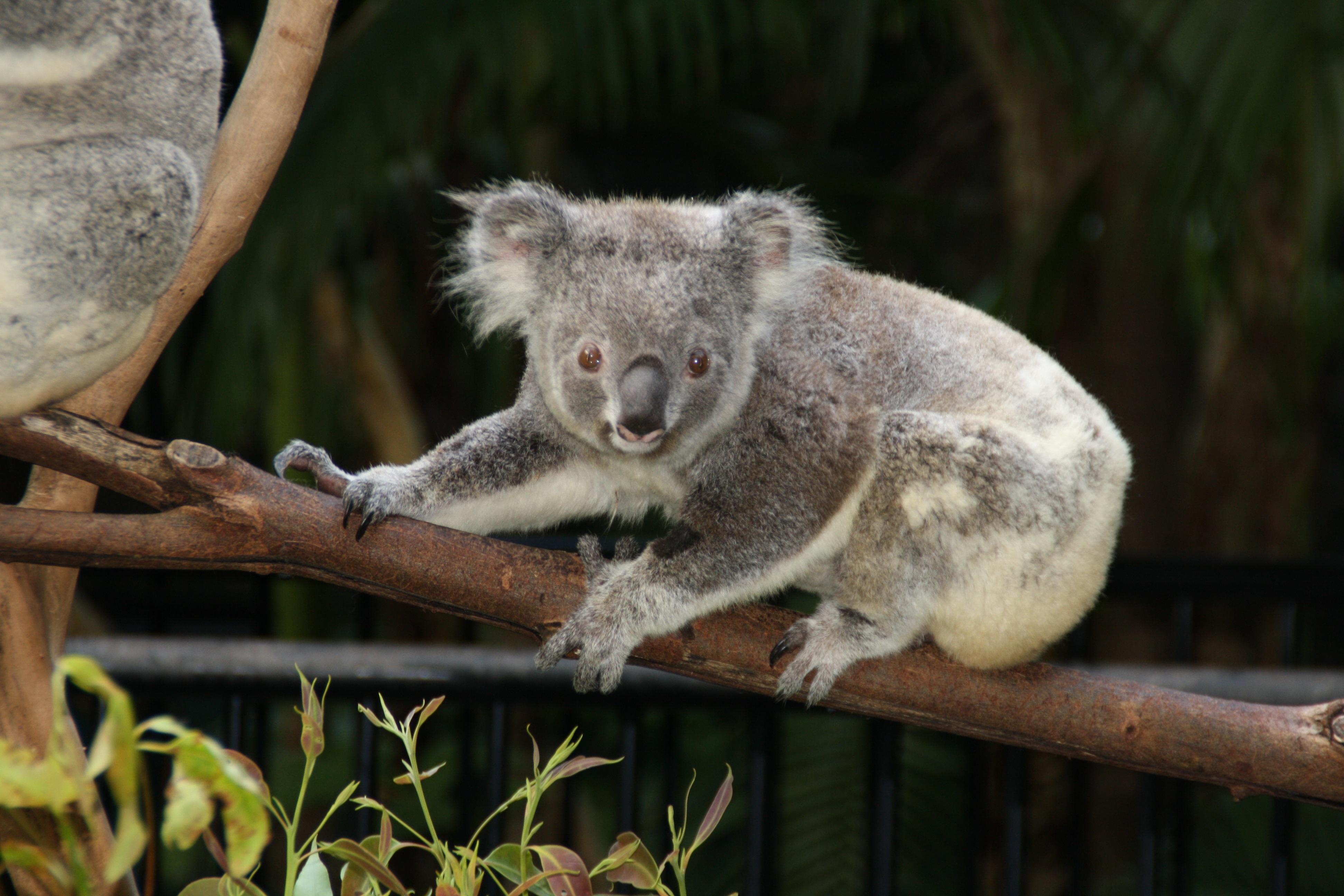 Bildet : dyreliv, dyrehage, pattedyr, fauna, Australia, dyr, virveldyr, koala, pungdyr 3888x2592 ...