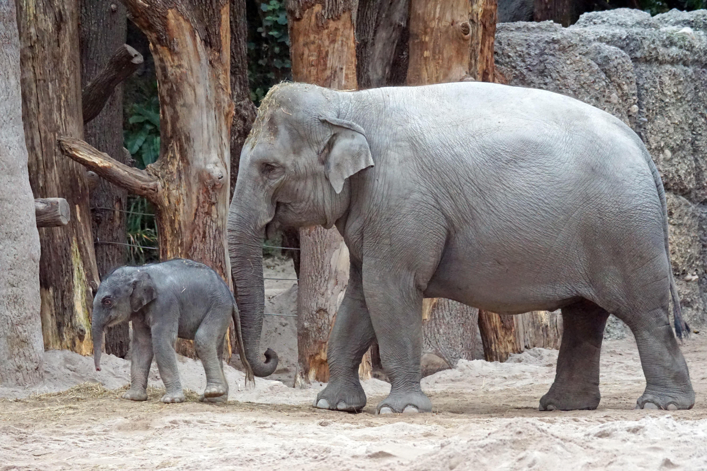 Images gratuites zoo mammif re l phant veau photographie de la faune pachyderme jeune - Photos d elephants gratuites ...