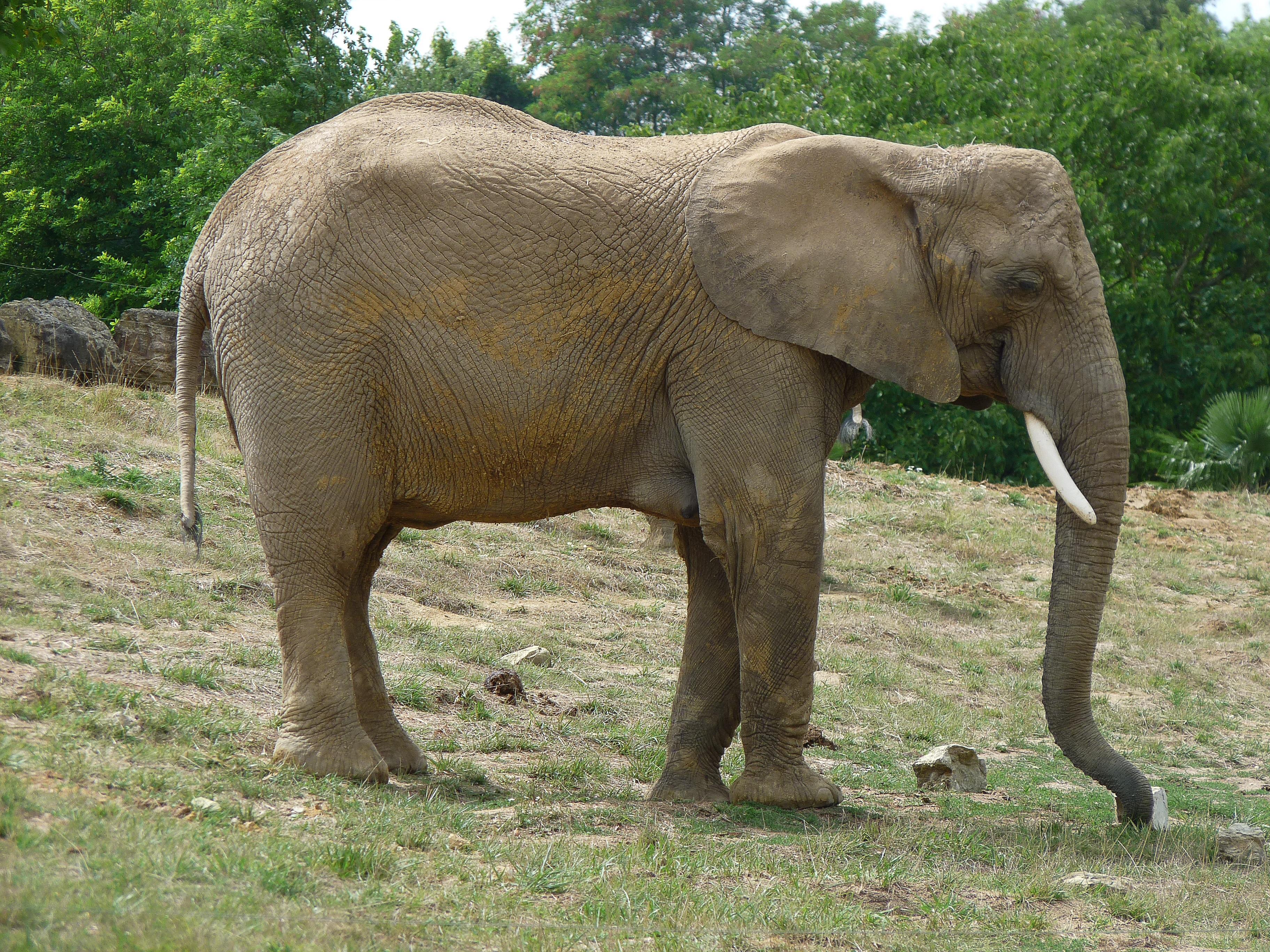 Images gratuites faune zoo mammif re l phant ivoire savane safari la d fense - Photos d elephants gratuites ...