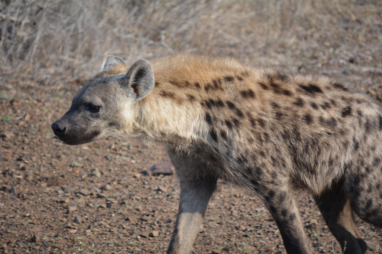 Image of: Safari Wildlife Zoo Mammal Fauna Wild Animal Vertebrate Hyena Safari South Africa Kruger Park Pxhere Free Images Wildlife Zoo Mammal Fauna Wild Animal Vertebrate