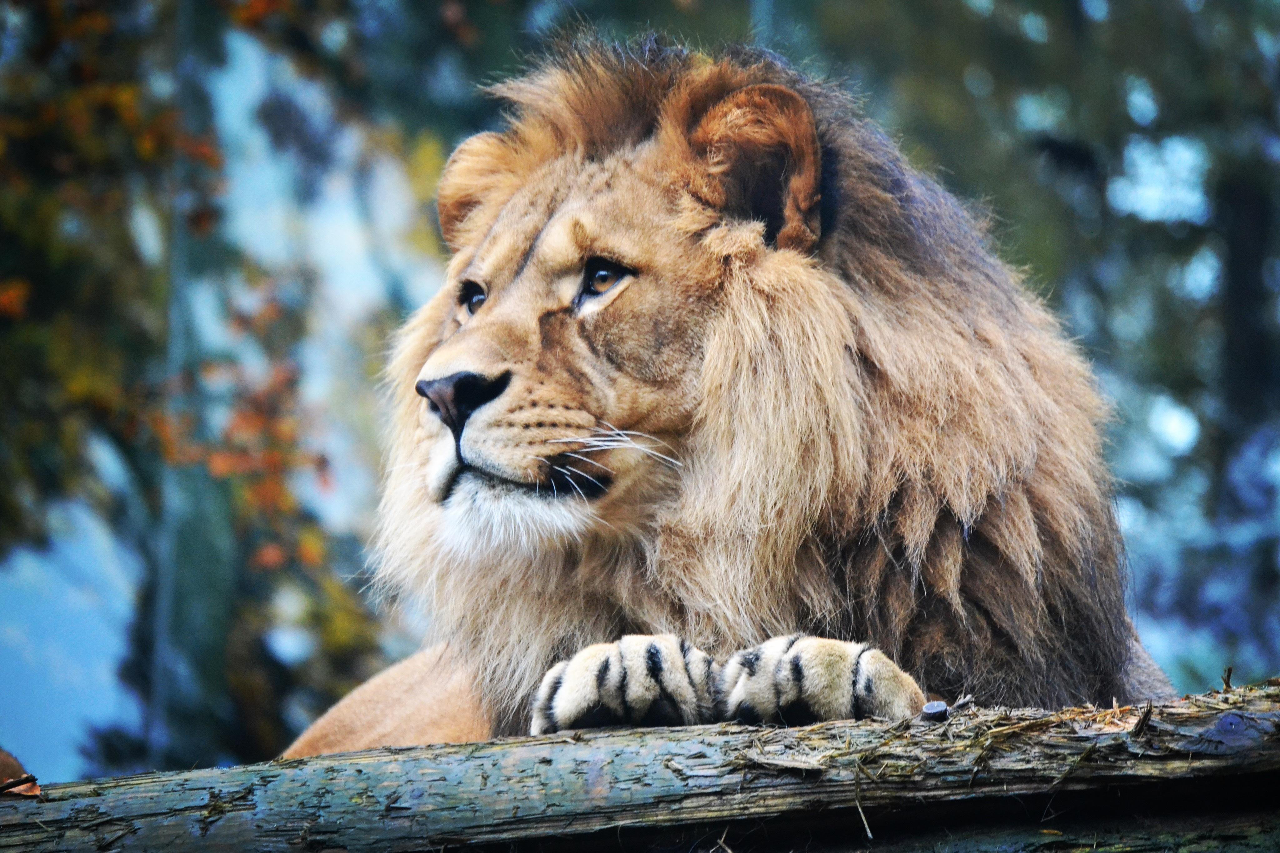 Images gratuites faune zoo crini re lion moustaches - Photos de lions gratuites ...