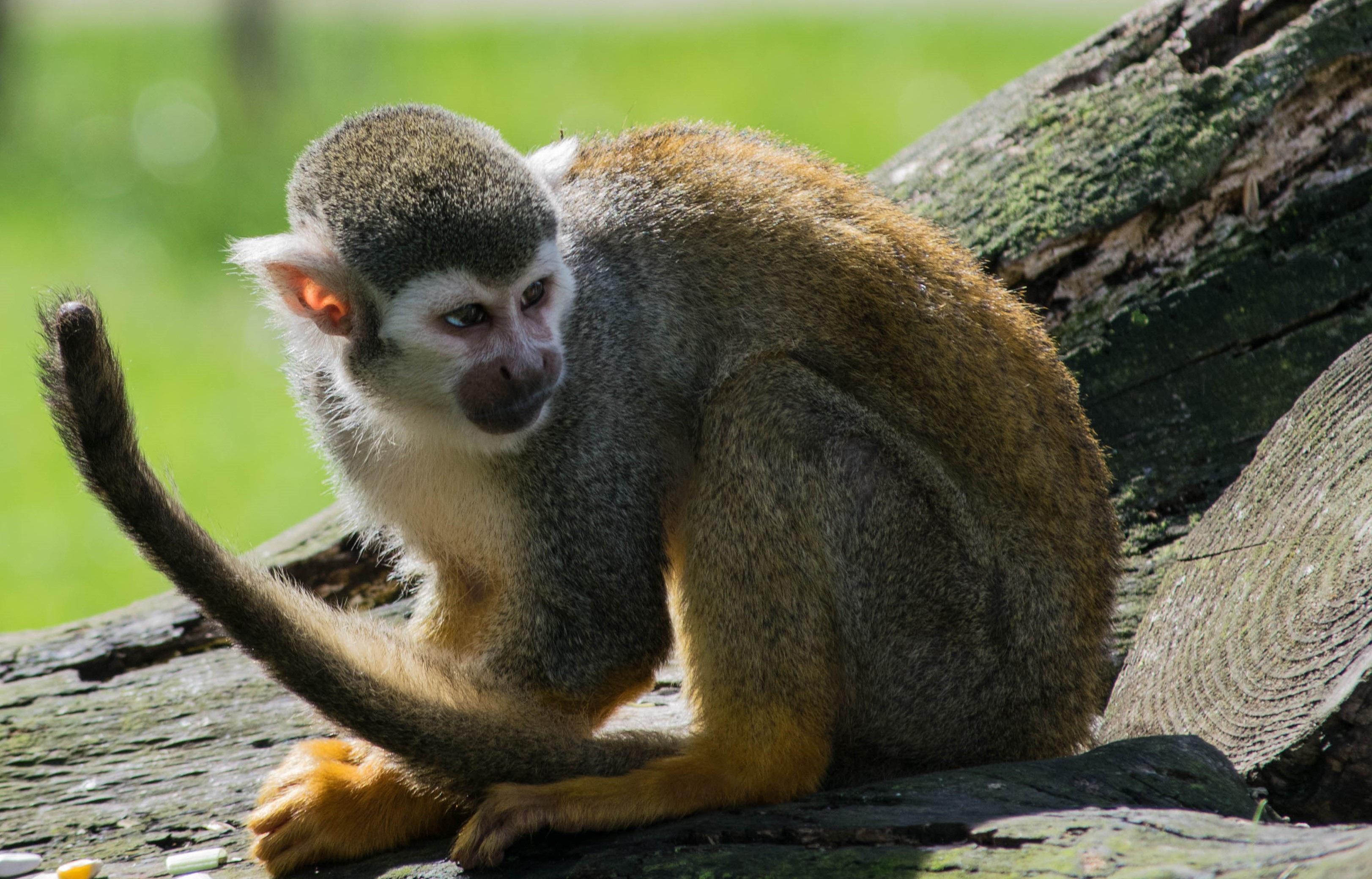 Gratis billeder : dyreliv, Zoo, pattedyr, fauna, primat, egern abe, hvirveldyr, lemur, makak, gamle verden abe, spider monkey, nye verden abe 3245x2080
