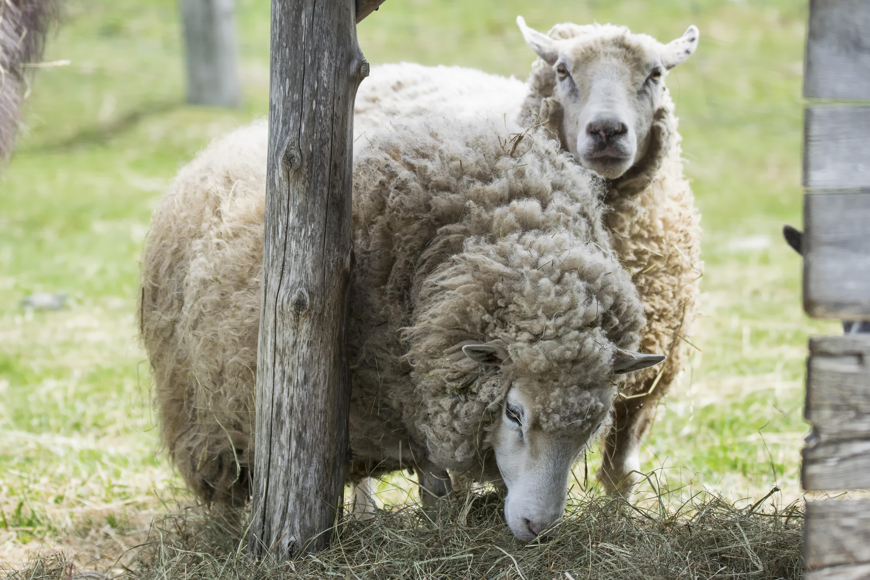 - Photos de moutons gratuites ...