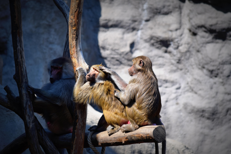 hình ảnh : Động vật hoang dã, vườn bách thú, Sóc, con khỉ, Động vật, Linh trưởng, Khỉ khổng lồ 6000x4000