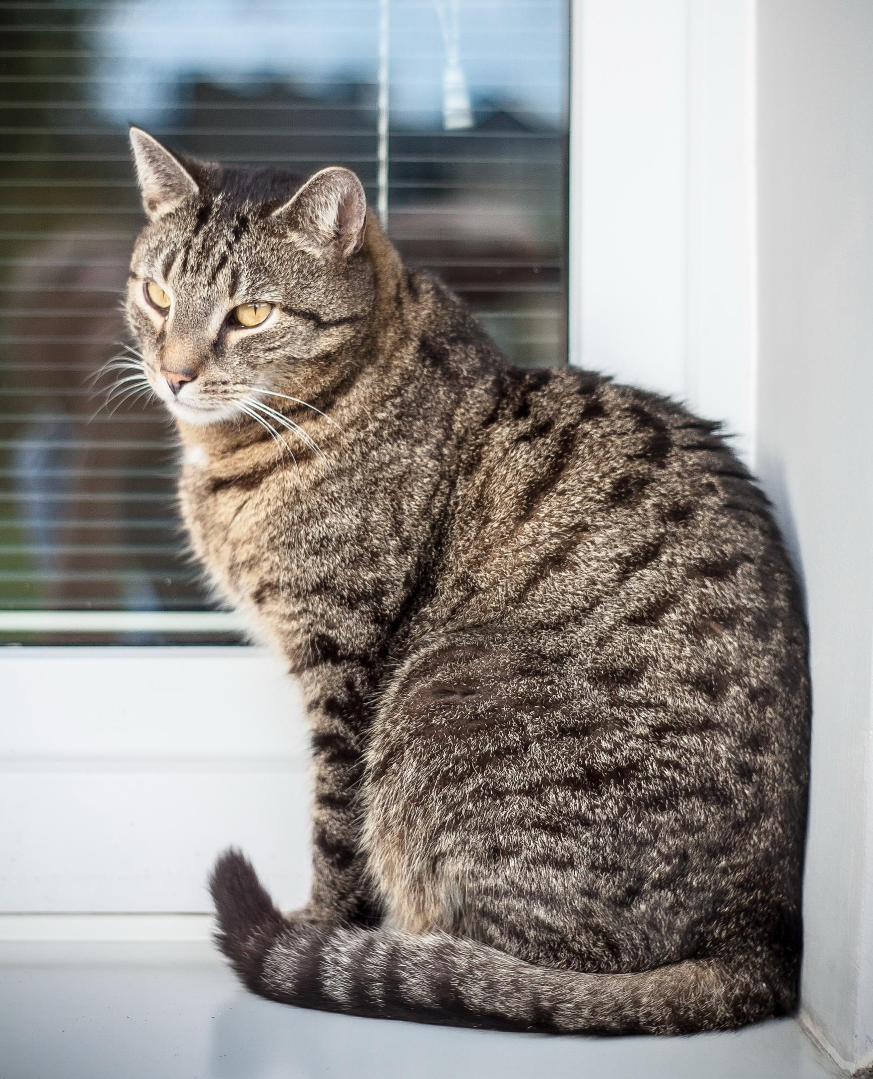 Free Images : animal, pet, fur, kitten, sitting, window sill