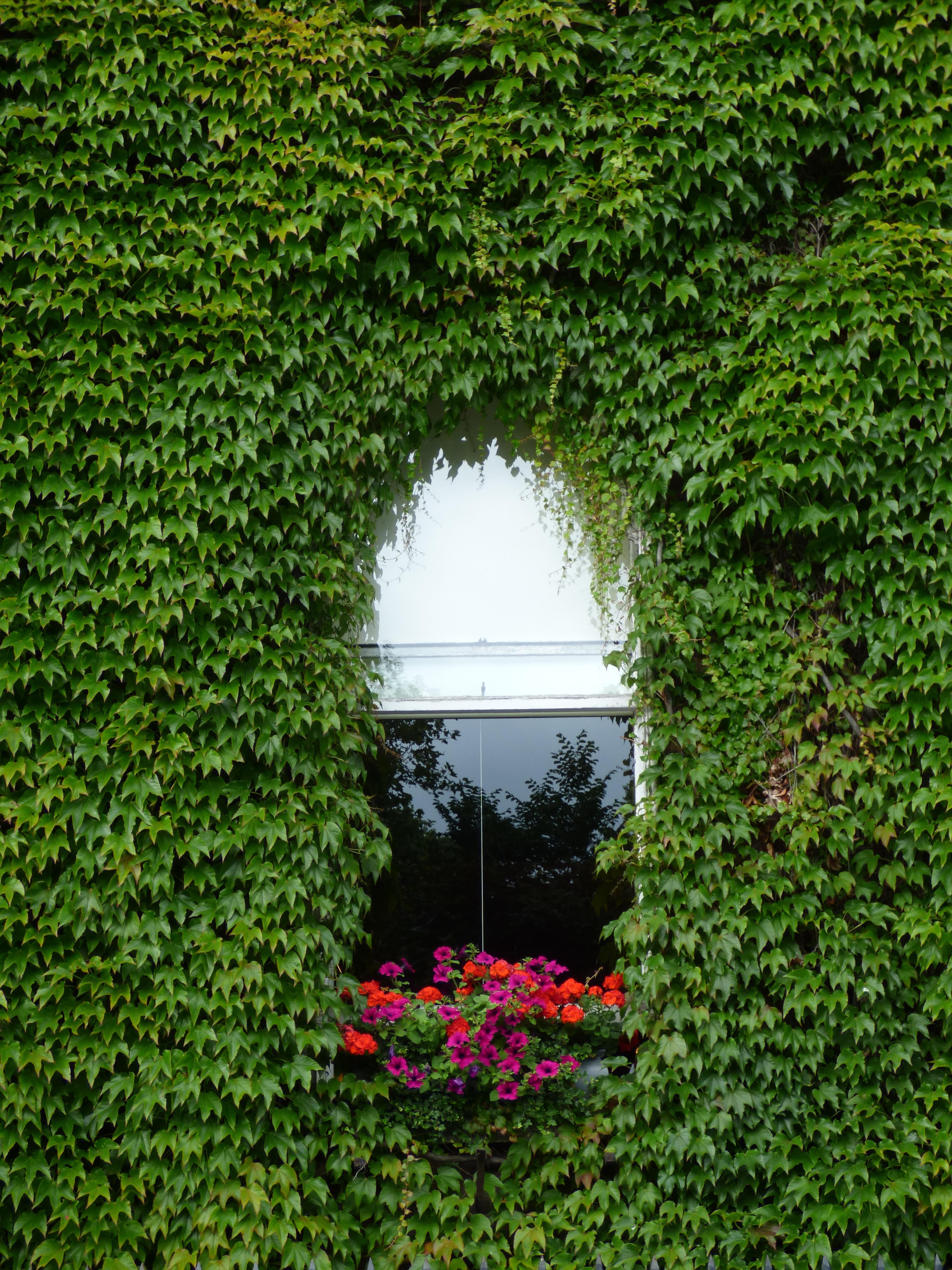 fotos gratis   ventana  enredadera  flores  reflexi u00f3n