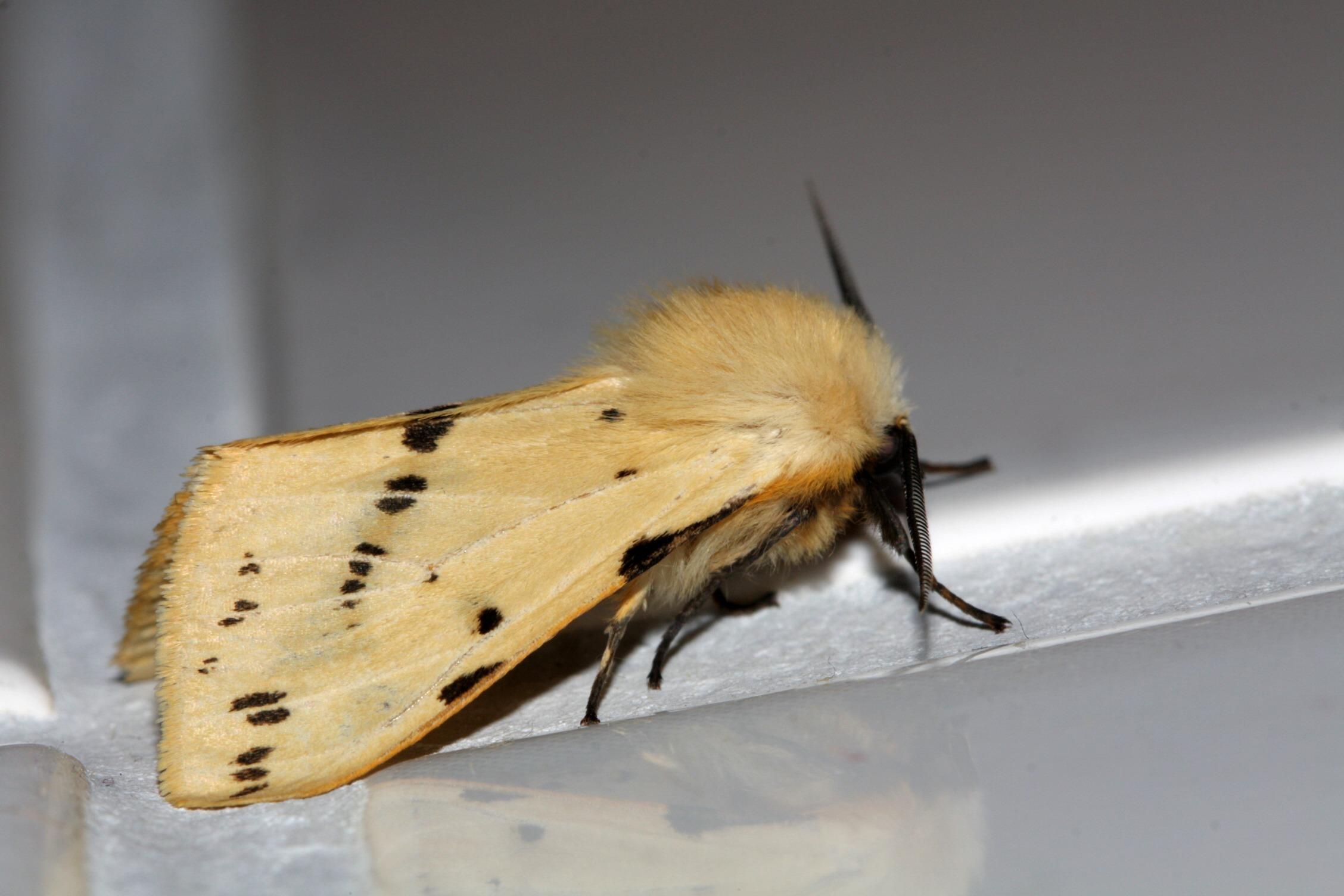 Fotos Gratis Ala Insecto Marr N Polilla Mariposa Fauna  ~ Como Son Las Polillas De La Madera