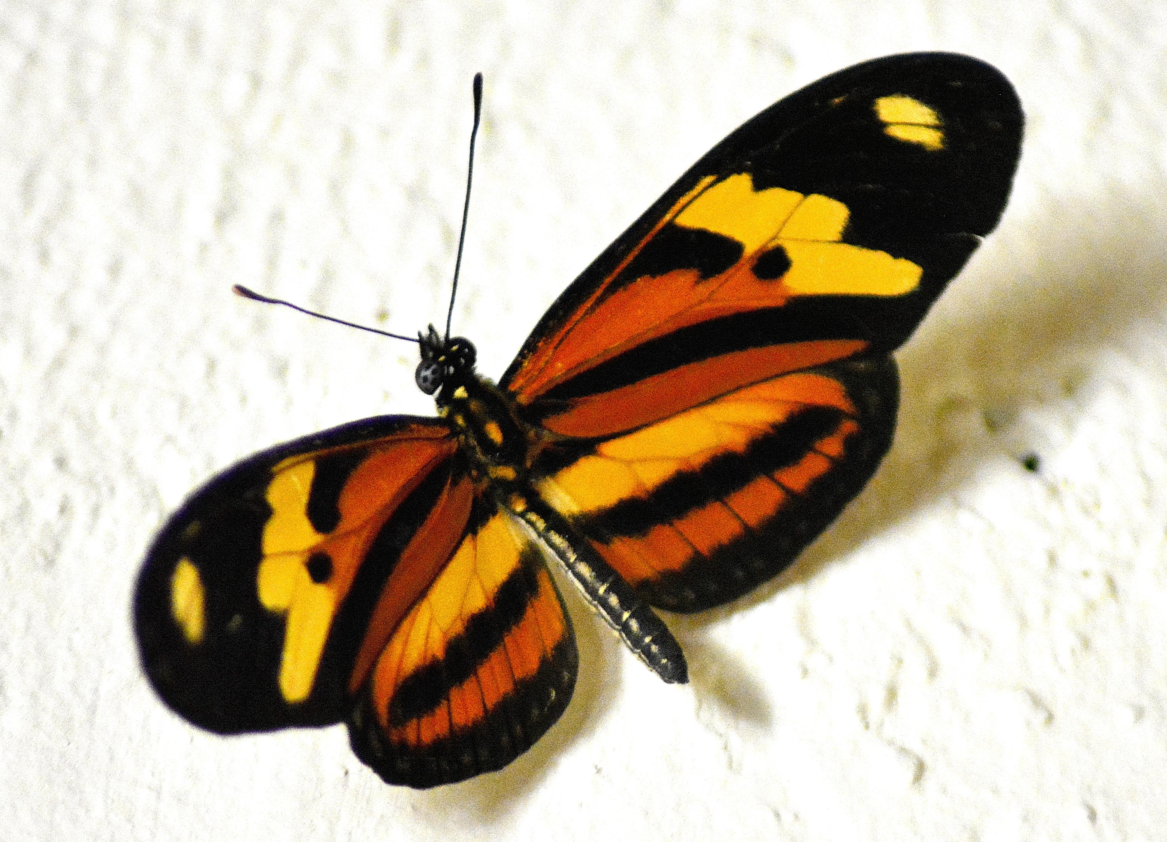 Top Images Gratuites : aile, insecte, peindre, jaune, faune  ZX21