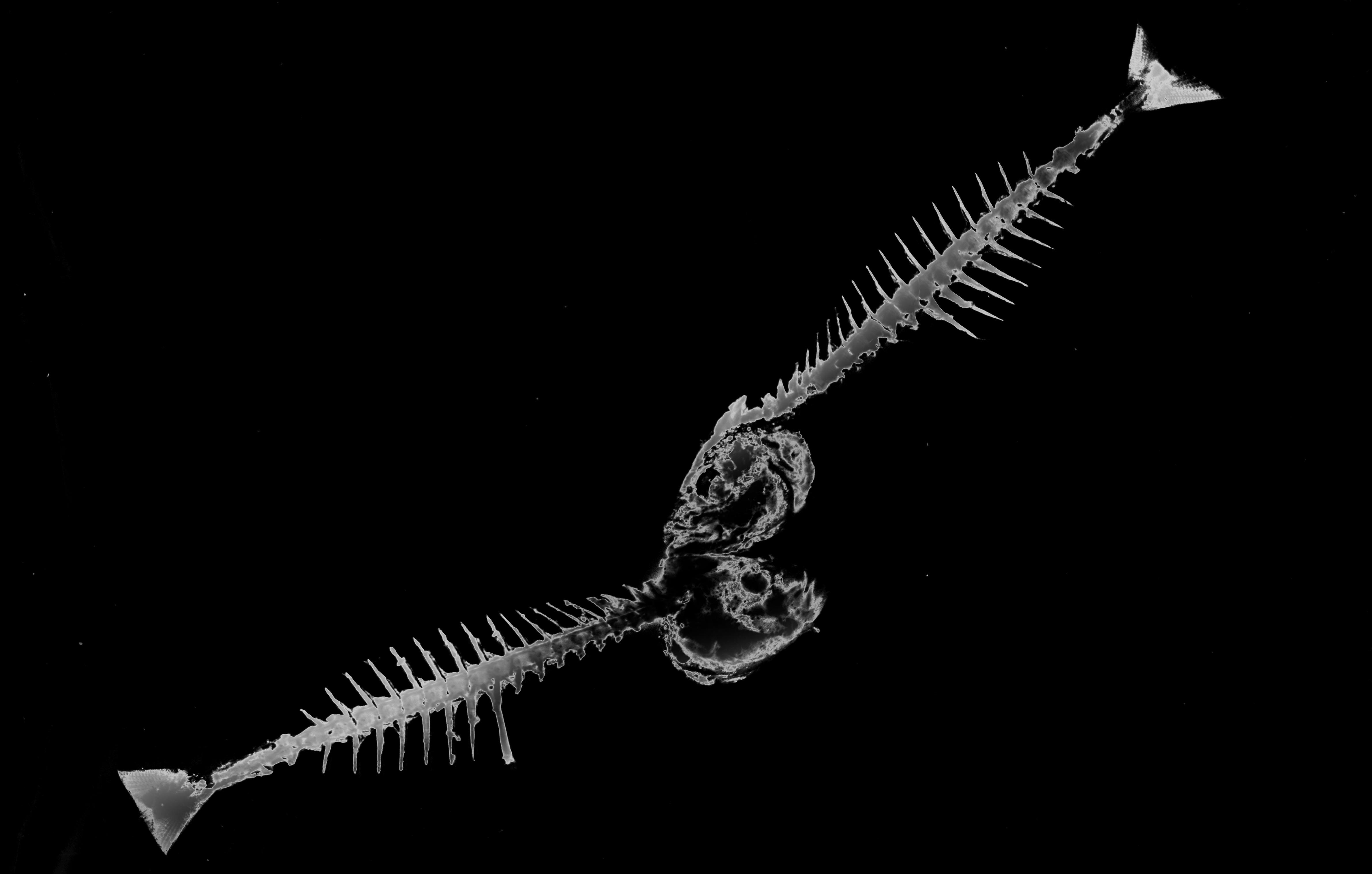 Wing light black and white dark fish bone fine art art monochrome photography deep sea fish