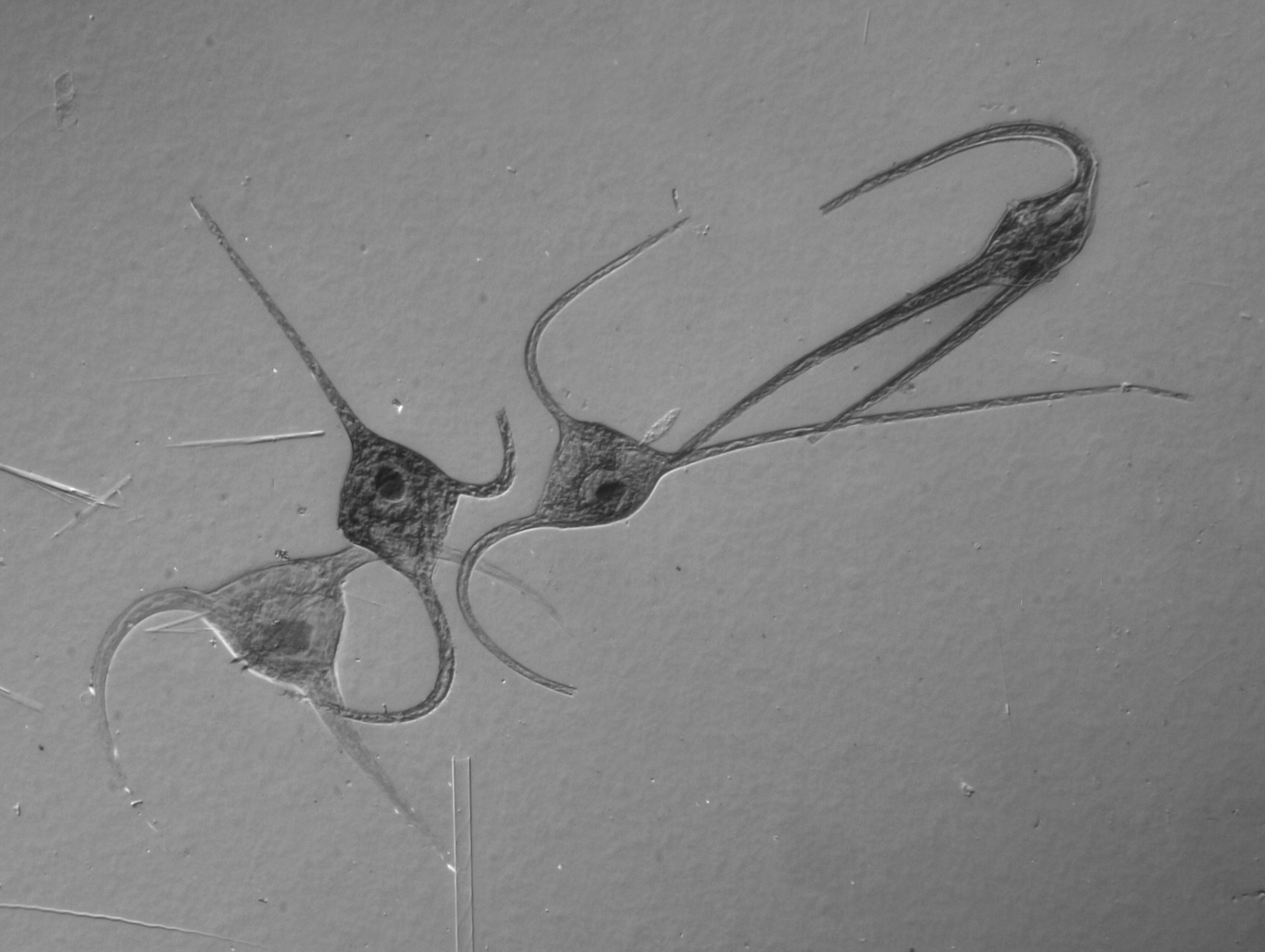 Gambar sayap mikro invertebrata sketsa gambar protista