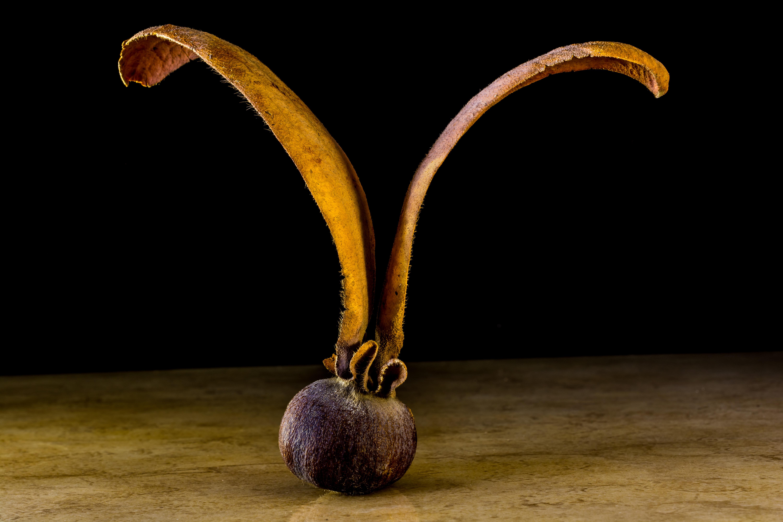 wing plant wood fruit horn food produce lighting seeds sculpture art brownish germ teak drupe globose & Free Images : wing plant wood fruit horn food produce ...