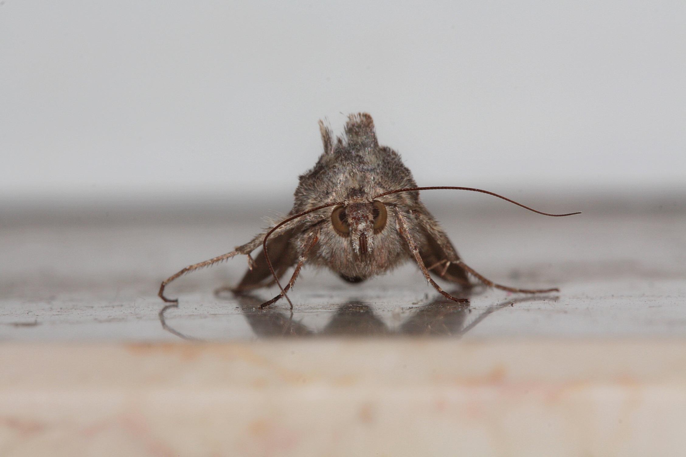 Fotos Gratis Ala Madera Insecto Polilla Fauna Invertebrado
