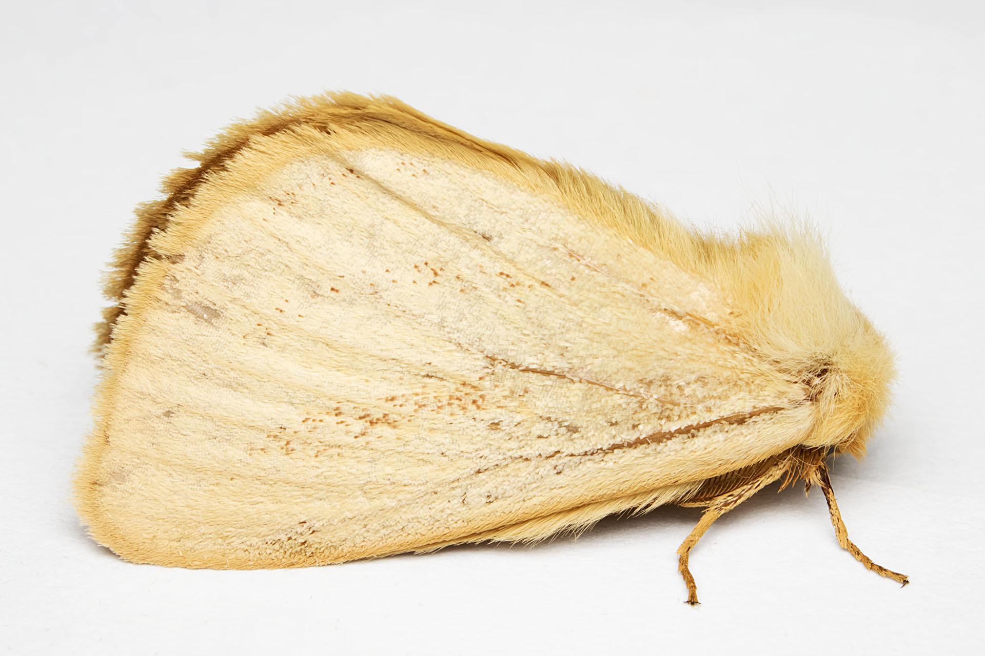 Fotos Gratis Ala Madera Insecto Polilla Fauna Invertebrado  ~ Como Son Las Polillas De La Madera