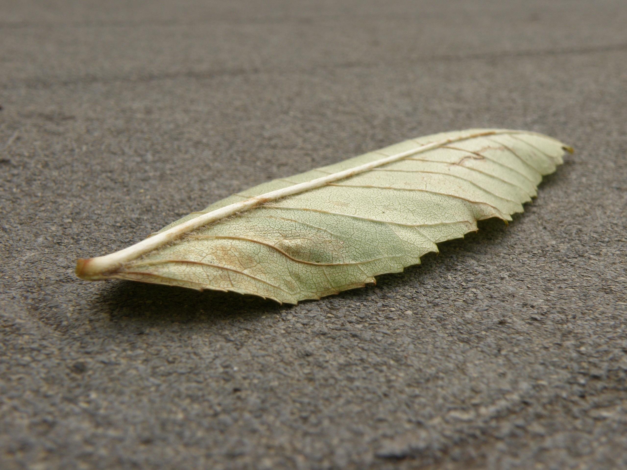 Fotos Gratis Ala Madera Hoja Insecto Polilla Ceniza  ~ Como Son Las Polillas De La Madera