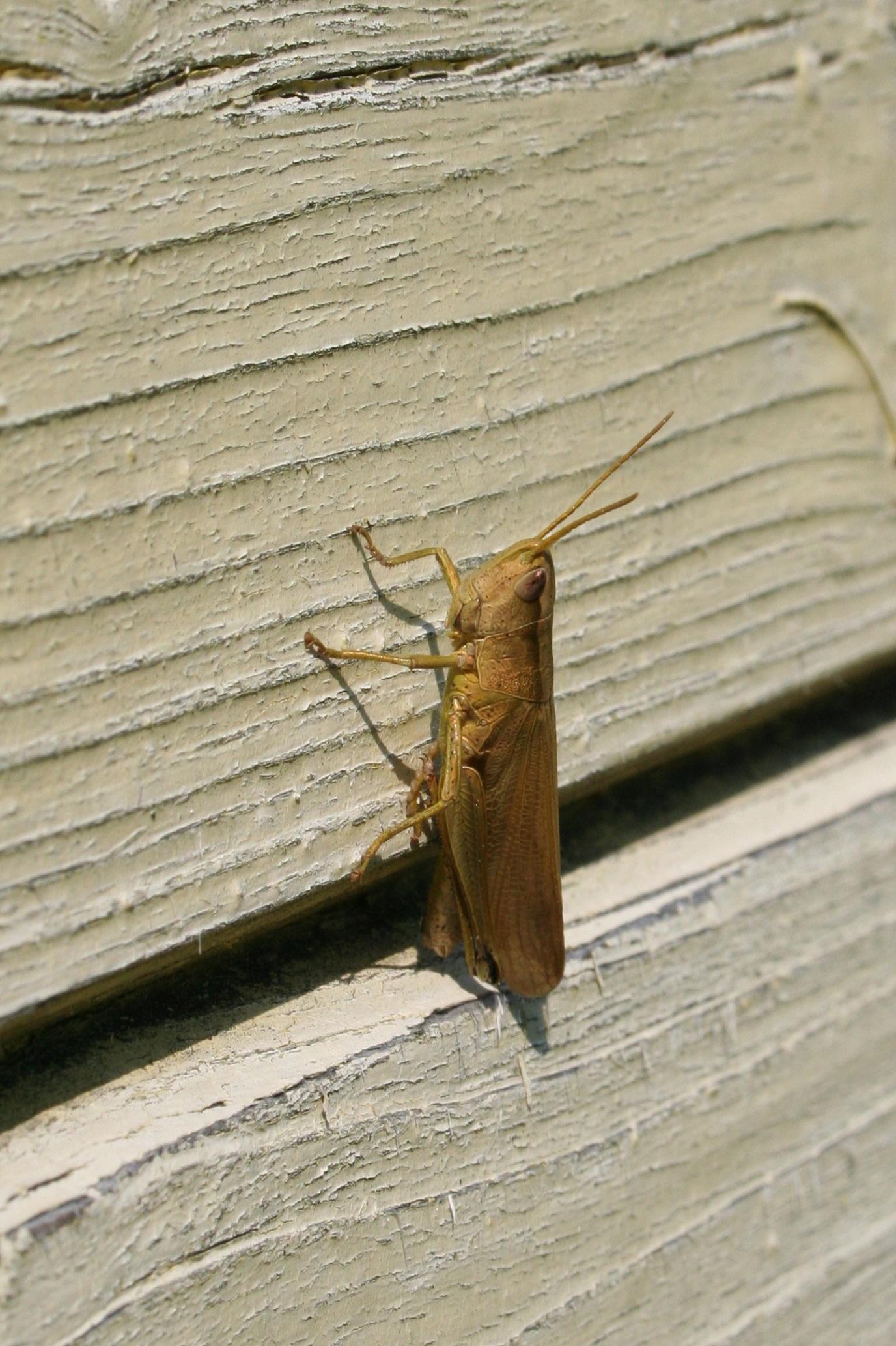 Fotos Gratis Ala Madera Hoja Insecto Polilla Fauna  ~ Como Son Las Polillas De La Madera