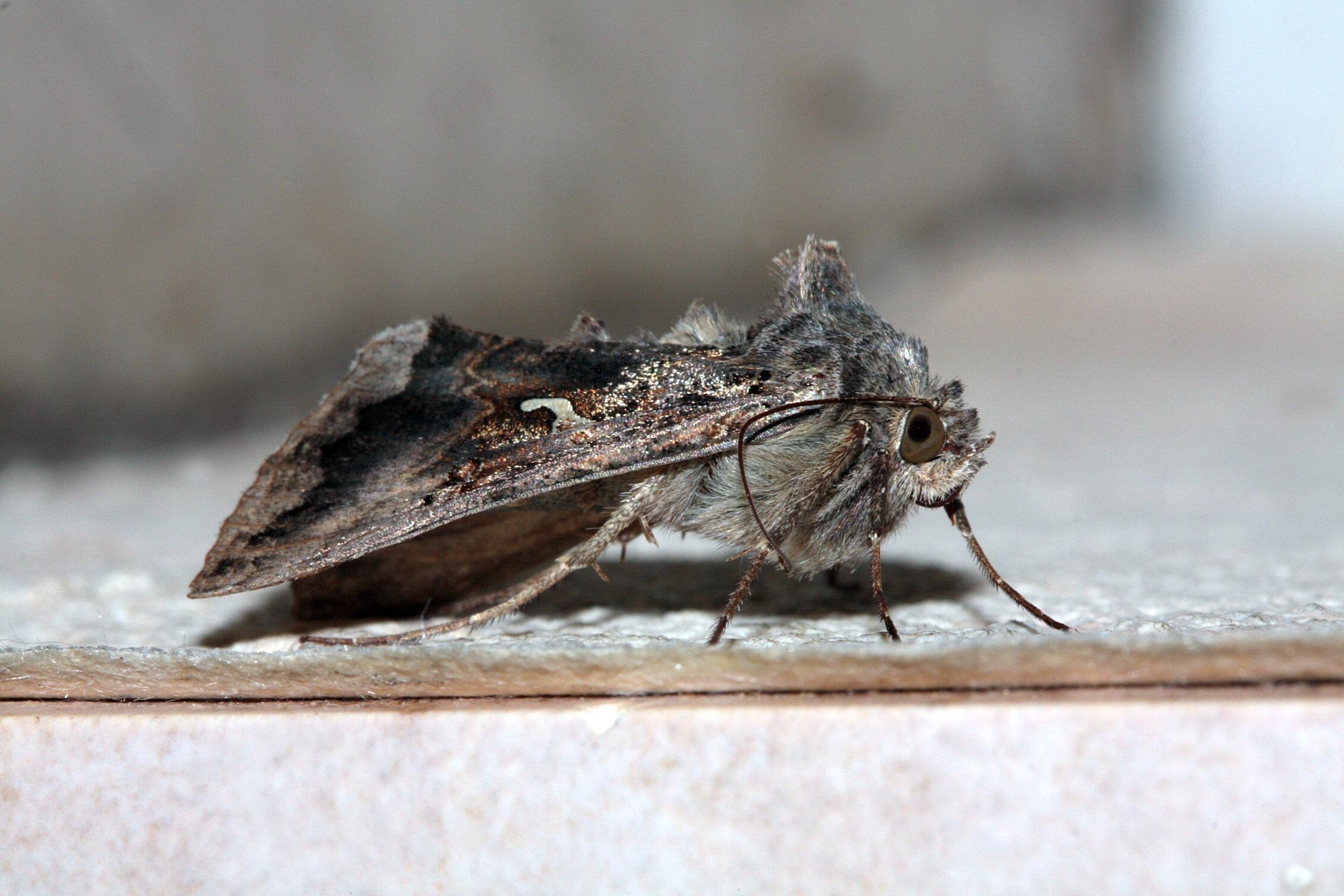Fotos Gratis Ala Madera Fotograf A Fauna Silvestre Insecto  ~ Como Son Las Polillas De La Madera