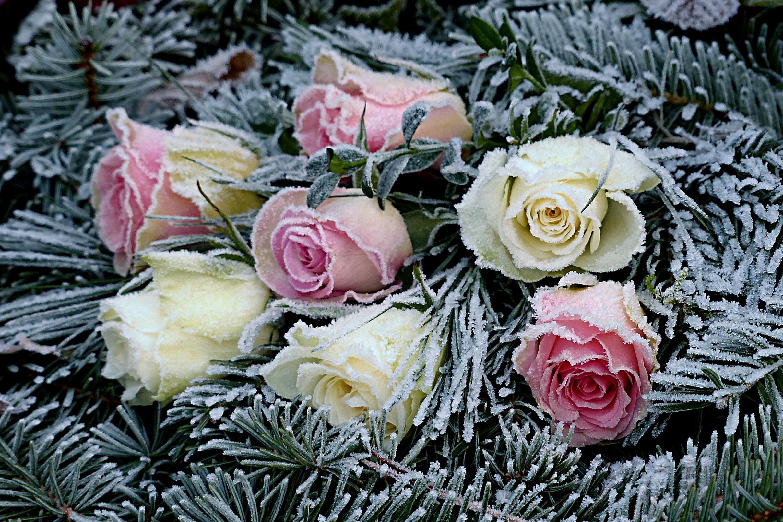 kostenlose foto winter blume bl tenblatt rosen eisig liegend floristik tannen bl hende. Black Bedroom Furniture Sets. Home Design Ideas