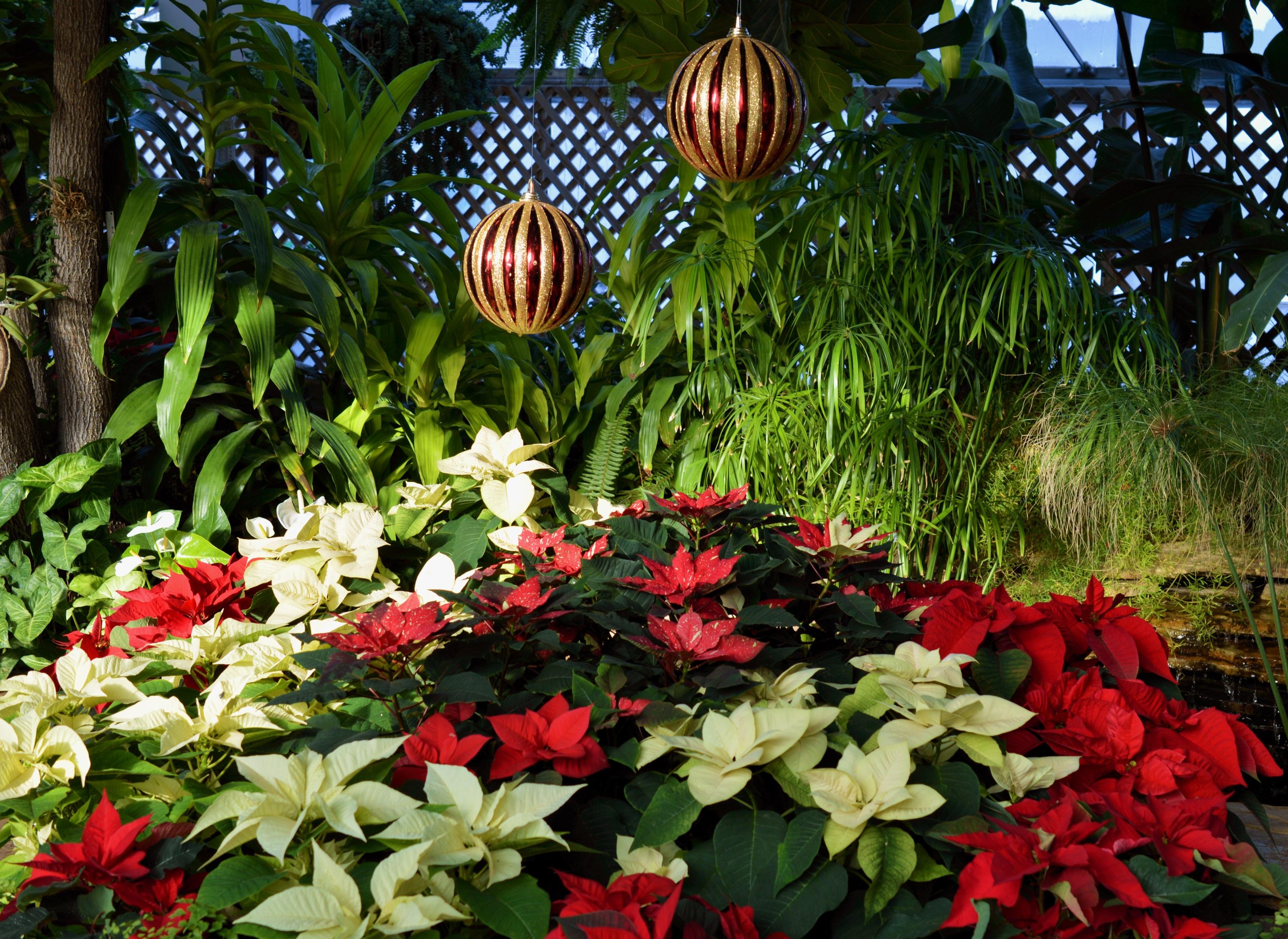 Free Images : winter, plant, leaf, flower, celebration, jungle ...