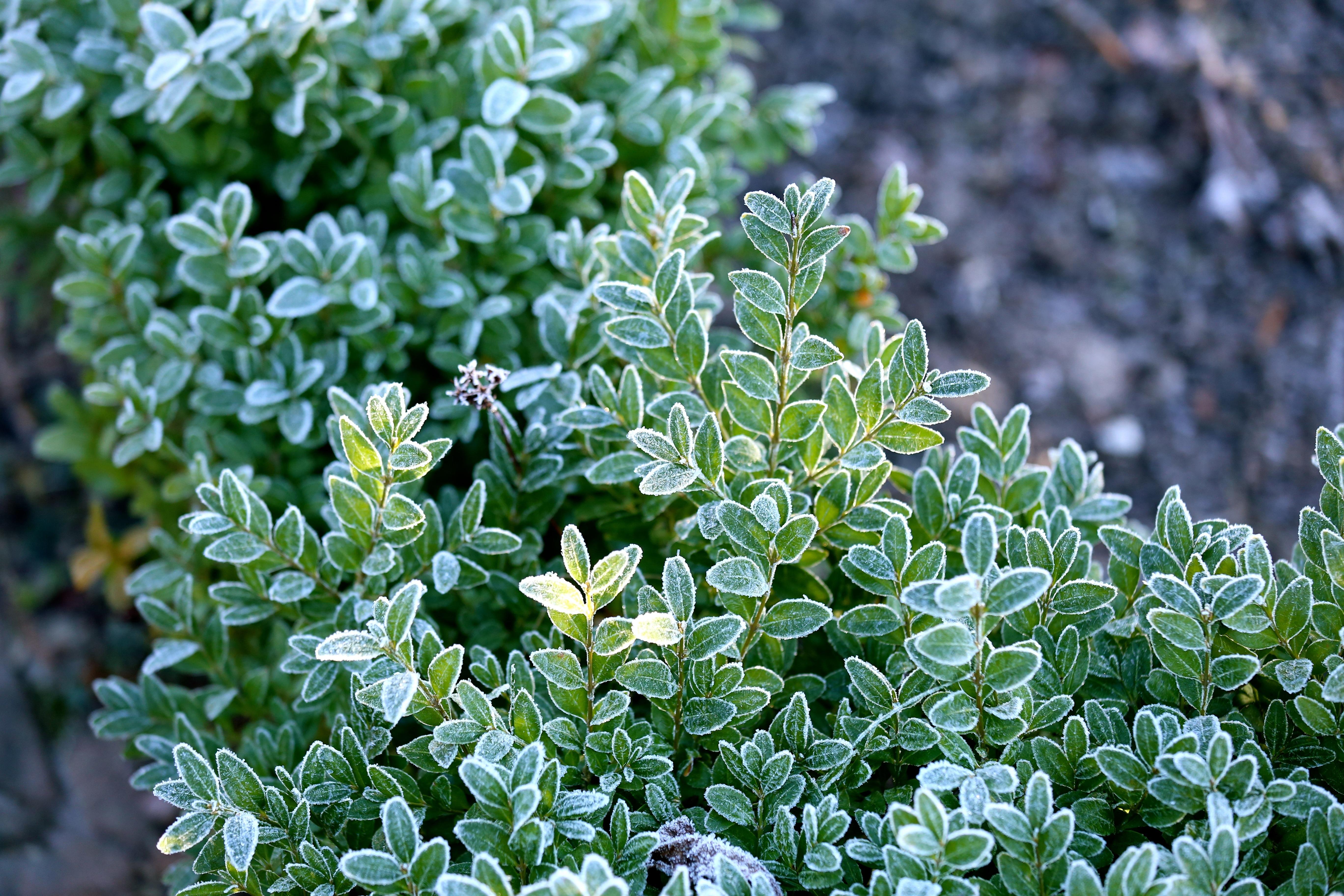 free images winter leaf flower frost bush green herb
