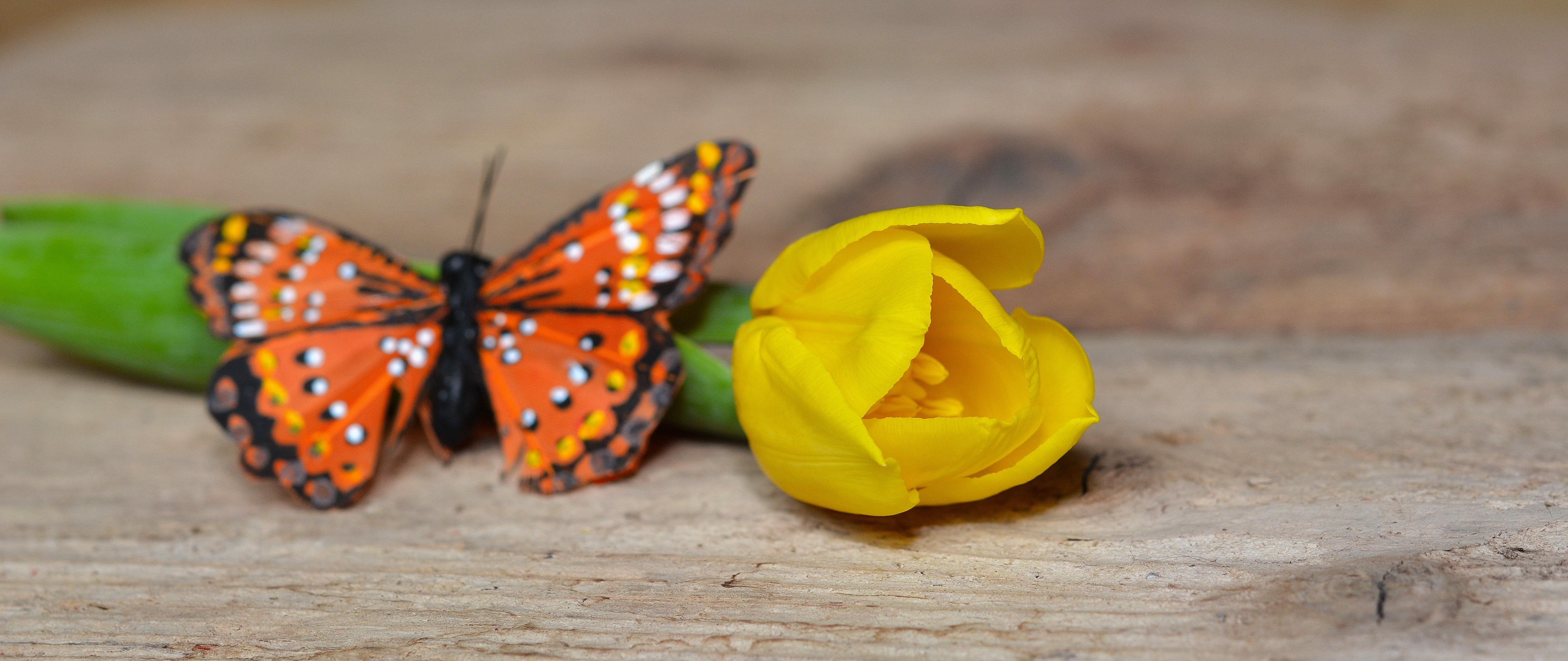 Fotos Gratis Madera P Talo Tulip N Insecto Mariposa  ~ Como Son Las Polillas De La Madera