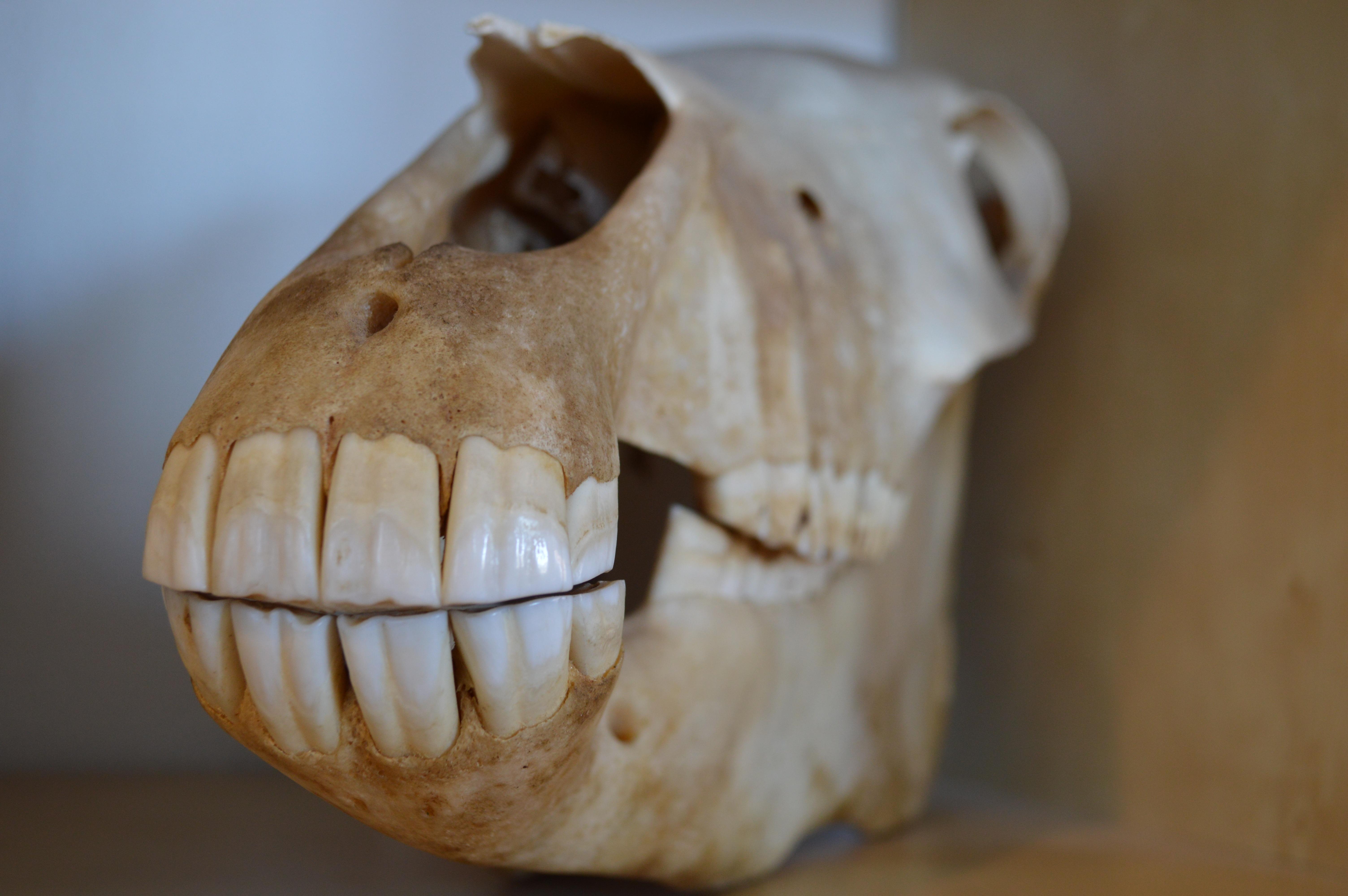 Free Images : wood, food, produce, horse, ceramic, death, skull ...