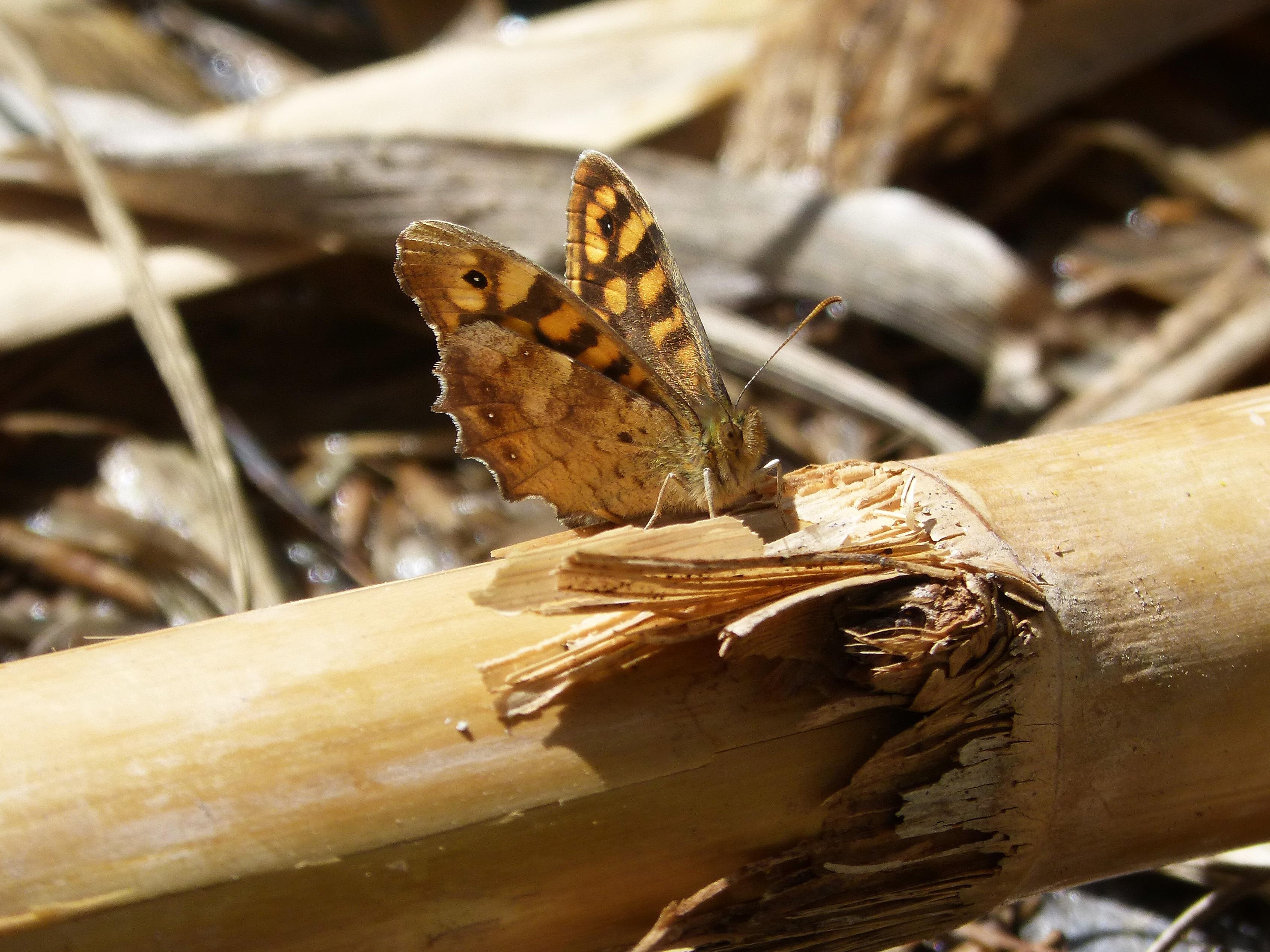 Fotos Gratis Madera Hoja Fauna Silvestre Insecto Polilla  ~ Como Son Las Polillas De La Madera