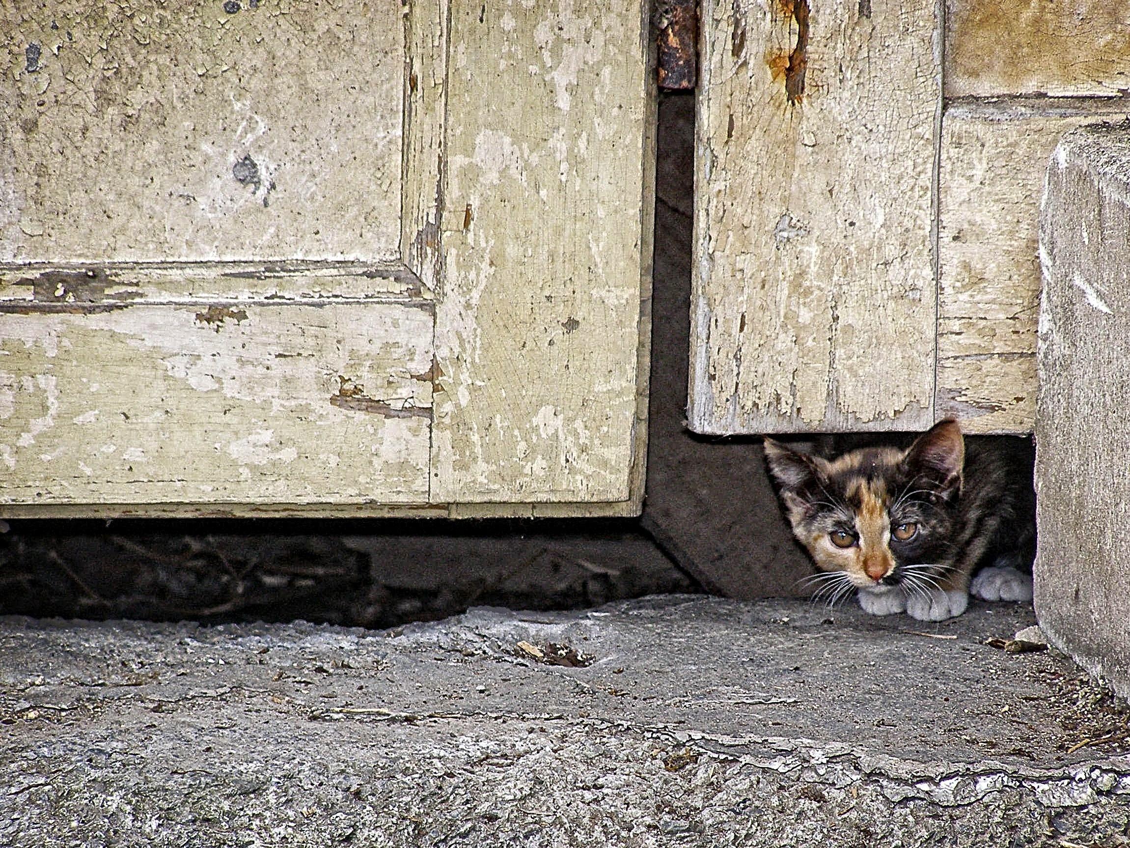 wood window animal wall pet kitten cat mammal door background wallpaper small to medium sized cats & Free Images : wood window animal wall pet kitten door ...