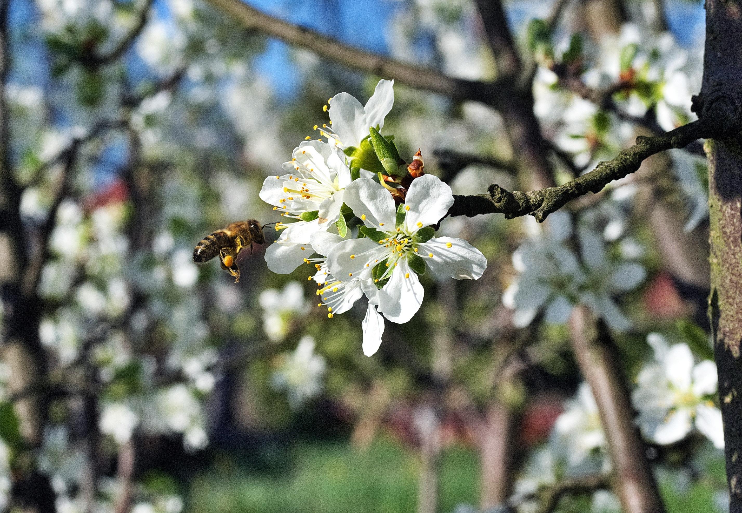 Fotoğraf Ağaç şube çiçek Polen Tozlaşma Bahar Bahçe Bitki