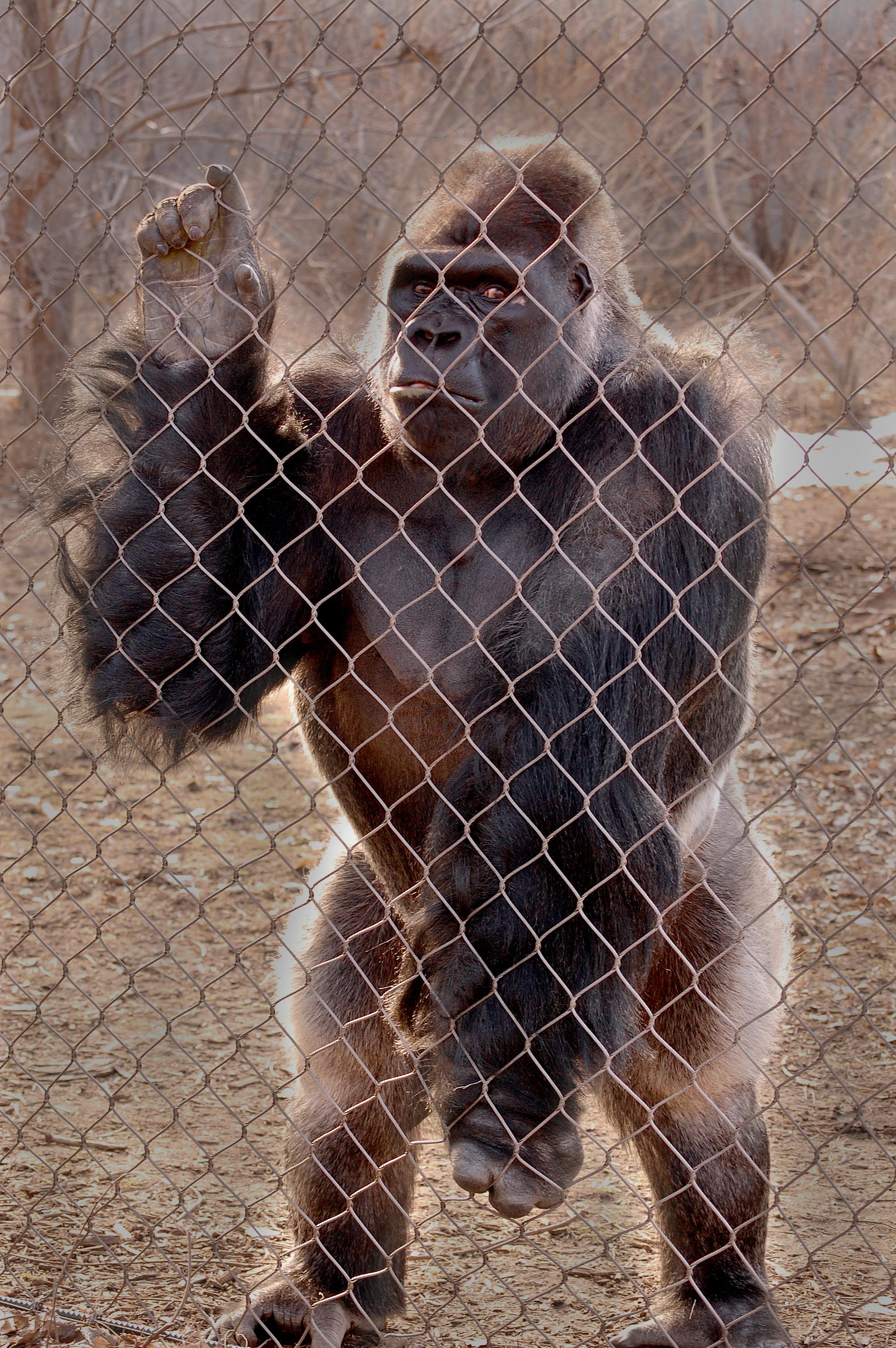 Gambar Kebun Binatang Binatang Menyusui Monyet Gorila